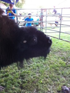 Ruthie, the bison, we decided wouldn't be able to play… can you imagine boxloading for her?