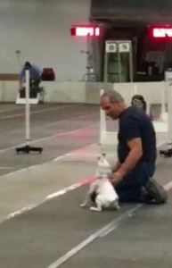 Honey was eager to play… a year without flyball is too long!